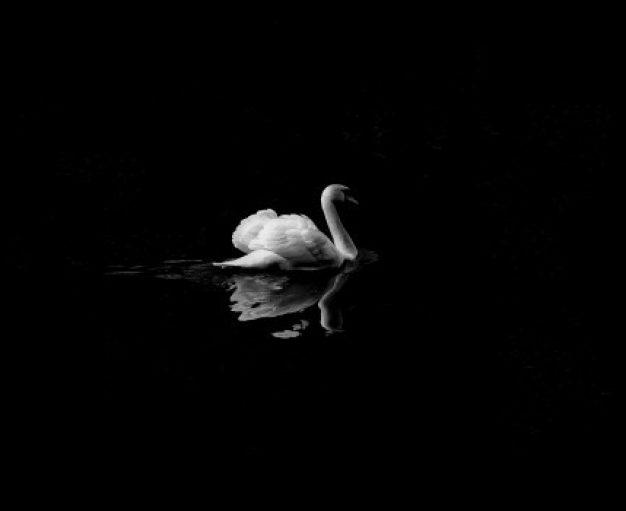 animal-swan-bird